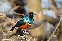 Superb Starling near Yebelo in southern Ethiopia