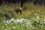 Brown bear among wildflowers of Lake Clark National Park, Alaska.