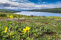Lessings Arnica wildflowers bloom in the tundra near Wonder Lake, Denali National Park, Alaska