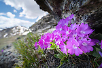 Cluster of mountain primrose (Primula villosa) growing in rock crevice at 2300m elevation.  Nordtirol, Austrian Alps. June.