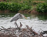 0111-0914  Great Blue Heron, Ardea herodias © David Kuhn/Dwight Kuhn Photography