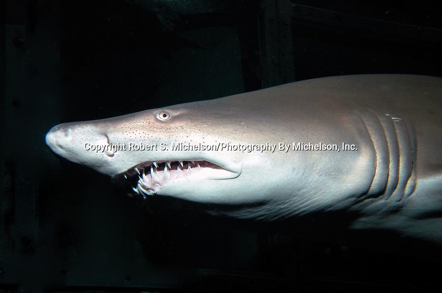 sand tiger shark close-up