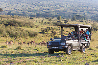 Tanzania. Serengeti.  Game Drive Vehicle in the Loliondo Concession Area, Northern Serengeti Area.