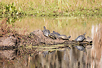 Damon, Texas; eight turtles sunning themselves on a submerged log in the slough