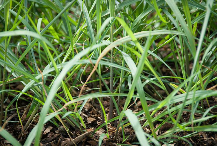 Lemongrass (Cymbopogon citratus), early July.