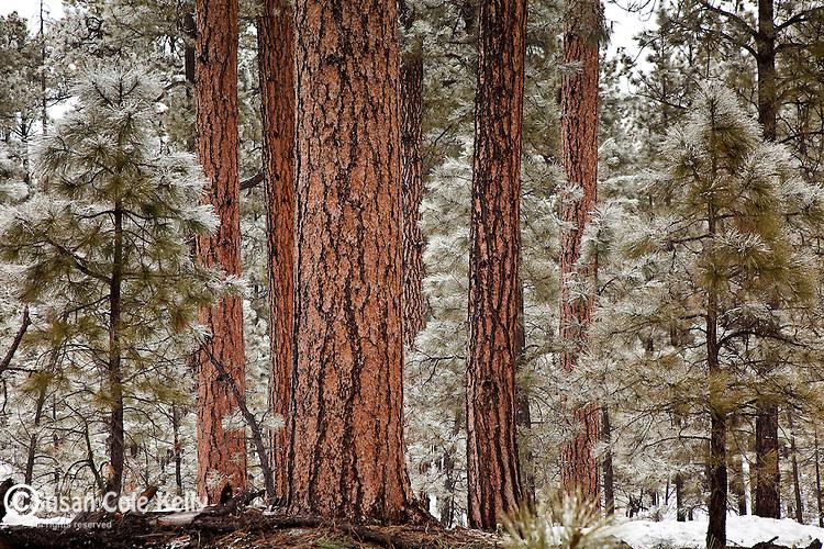 Snowy Ponderosa Pines in Hannagan Meadow, Apache-Sitgreaves National Forest, AZ, USA