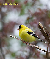 SW05-501z  American Goldfinch male, Carduelis tristis