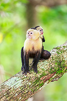 white-headed capuchin, Cebus capucinus, aka white-faced capuchin, or white-throated capuchin, mother with her infant on her back, moving along tree branch, Manuel Antonio National Park, Costa Rica