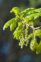 Zomereik (Quercus robur) bloeiend
