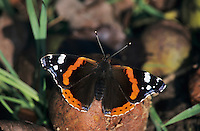 Red Admiral, Vanessa atalanta, adult on rotten pears, Oberaegeri, Switzerland, Europe