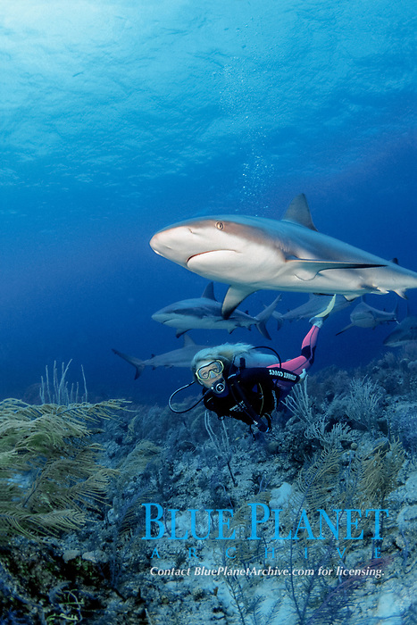 female diver and Caribbean reef sharks, Carcharhinus perezii, during an organized shark dive with Stuart Cove's Dive South Ocean dive company, Bahamas, Caribbean Sea, Atlantic Ocean
