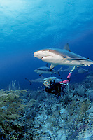 female diver and Caribbean reef sharks, Carcharhinus perezii, during an organized shark dive with Stuart Cove's Dive South Ocean dive company, Bahamas, Caribbean Sea, Atlantic Ocean