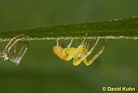 0818-0905  Young Crab Spider in Virginia Molting to Next Instar, Misumenops spp. © David Kuhn/Dwight Kuhn Photography.