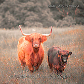 Assaf, ANIMALS, REALISTISCHE TIERE, ANIMALES REALISTICOS, photos,+Animal, Animals, Cattle, Cow, Cows, Highland, Highland Cattle, Highland Cows, Photography, Scotland, Sepia, animal, cattles,+creature, creatures, zoology,Animal, Animals, Cattle, Cow, Cows, Highland, Highland Cattle, Highland Cows, Photography, Scotl+and, Sepia, animal, cattles, creature, creatures, zoology++,GBAFAF20180824,#a#, EVERYDAY