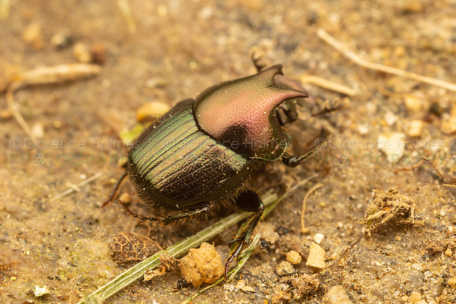 Dung Beetle (Onthophagus orpheus) - Male