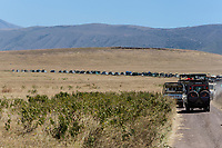 Tanzania. Ngorongoro Crater, Vehicle Lineup for Viewing a Rhinoceros (not visible).