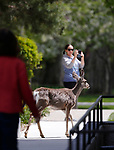 Deer walk through the lunch crowd in downtown Carson City, Nev., on Friday, May 3, 2019. <br /> Photo by Cathleen Allison/Nevada Momentum