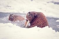 walrus, Odobenus rosmarus, in the water in the middle of pack ice in the Bering sea of Alaska, Arctic