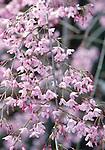 2295-CB Weeping Japanese Flowering Cherry, Prunus subhirtella pendula, at Filoli Center, Woodside, CA