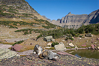 Hoary Marmots (Marmota caligata) sitting on rock near continental divide, Northern Rockies, fall.