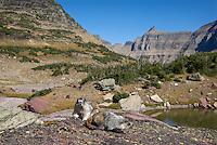 Hoary Marmots (Marmota caligata) sitting on rock near continental divide, Northern Rockies, fall.
