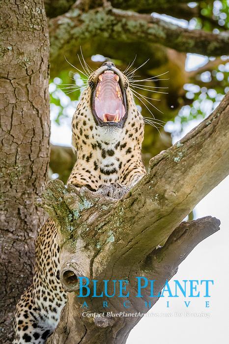 African Leopard (Panthera pardus pardus), Seronera, Serengeti National Park, Tanzania, Africa