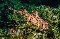 Horn shark, Heterodontus francisci, California, East Pacific Ocean