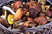Poland. Basket of Boletus sp. and other edible fungi. Autumn.