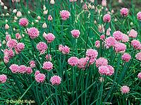 HS35-004b  Chives - in flower - Allium schoenoprasum