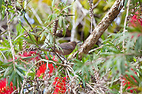 Dusky Honeyeater, Daintree River, Queensland, Australia