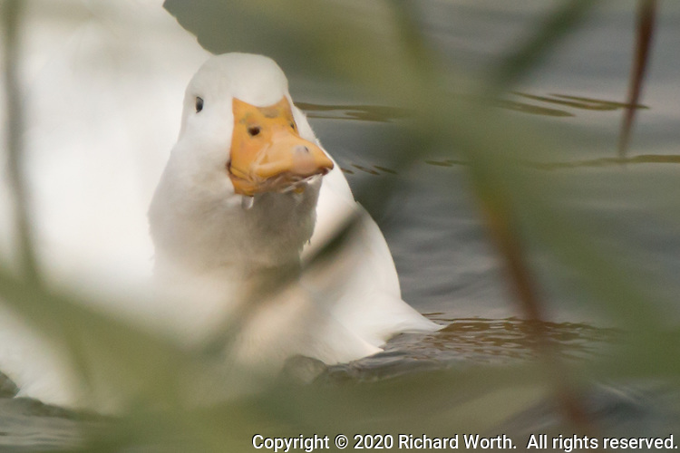 A domestic duck, a white, Pekin duck, floats in a neighborhood park's pond framed in the crisscross of long blades of grass on a fall afternoon.