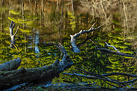 White pines reflected in Delegan Pond at Camp Saratoga in the Wilton Park And Preserve in Wilton, New York