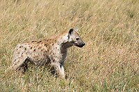 Spotted Hyena, Crocuta crocuta, in Serengeti National Park, Tanzania