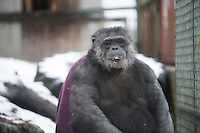 Chimp, Ronnie ventures into the snow for a treat at the Ape and Monkey Santuary near Coelbren in the Swansea Valley in South Wales.