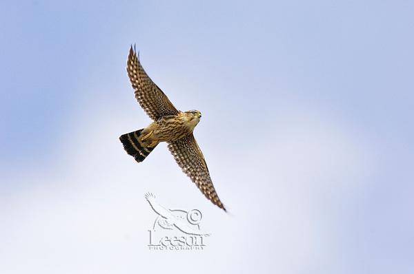 Female Merlin (Falco columbarius) on fall migration.  Southwestern U.S.