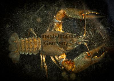 Deutschland, Bayern, Inzell-Adlgass:  Edelkrebs oder Europaeischer Flusskrebs (Astacus astacus) im Frillensee | Germany, Bavaria, Inzell-Adlgass: Astacus astacus, the European crayfish or noble crayfish in lake Frillensee