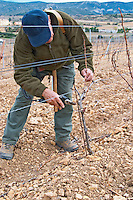 Monsieur Astruc tending to his vines. Mont Tauch Cave Cooperative co-operative In Tuchan. Fitou. Languedoc. Vines trained in Cordon royat pruning. Young vines. Terroir soil. Man pruning vines. France. Europe. Vineyard.