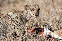 We arrived a little late on the scene, as this cheetah had made her kill earlier this morning.