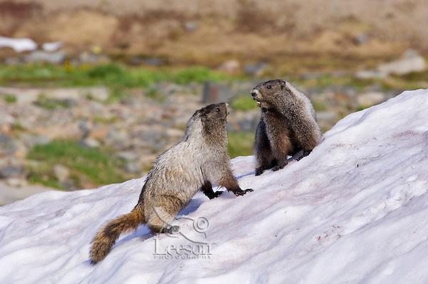 Hoary Marmots (Marmota caligata) in alpine area of Cascade Mountains, Pacific Northwest.  Summer.