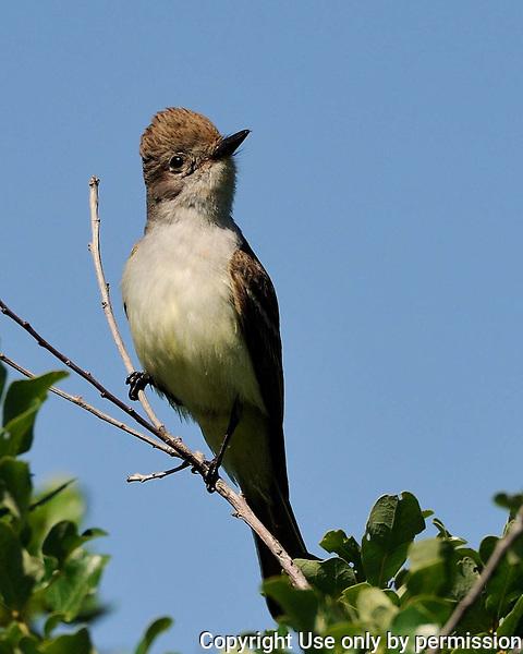 Ash-throated Flycatcher image taken near Killeen, TX
