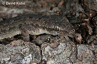 0507-08oo  Flat-tailed House Gecko, Cosymbotus platyurus © David Kuhn/Dwight Kuhn Photography
