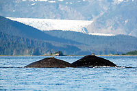 a pair of adult humpback whales, Megaptera novaeangliae, surfacing, front of Mendenhall Glacier outside Juneau, Alaska, USA, Pacific Ocean
