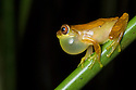 Hourglass Treefrog male {Dendropsophus ebraccatus} with inflated vocal sac. Central Caribbean foothills, Costa Rica. May.