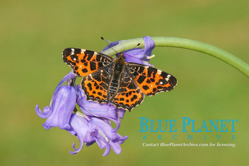 Map Butterfly (Araschnia levana), adult, first generation, basking on Bluebell (Endymion non-scriptus), flowers, France, Europe