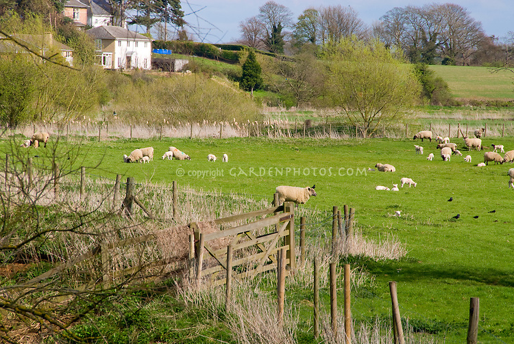 Farm animals flock of sheep, lambs, ewes, fiber wool sources, grazing free range in meadow field in spring, blue sky and clouds, trees, fenced, crows