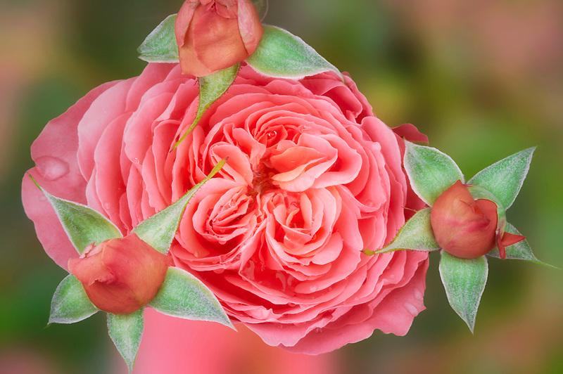 Pink Abundance rose with buds. Heirloom Gardens, Oregon