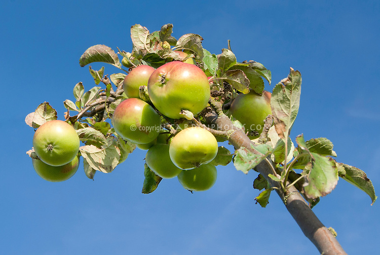 COLUMNAR APPLE 'URBAN BLUSHING DELIGHT' fruits,.Malus domestica 'Urban Blushing Delight' against blue sky, eating apple for small gardens