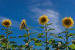 Golden field of sunflowers in the New England region of NSW in Australia.