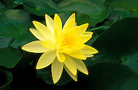A yellow water lily (Naymphaea) blossom and leaves