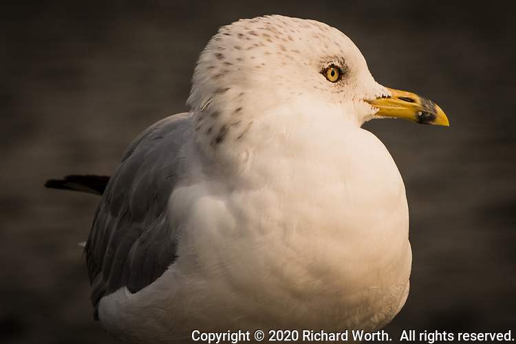 """A Ring-billed gull looks to its left, offering its profile to the camera at a neighborhood park known as """"The Duck Pond""""."""